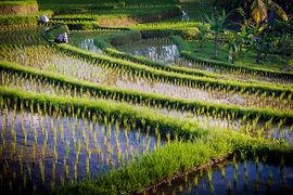 Bali Ricefield 2_6.jpg