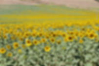 Spanish Sunflower 5.jpg