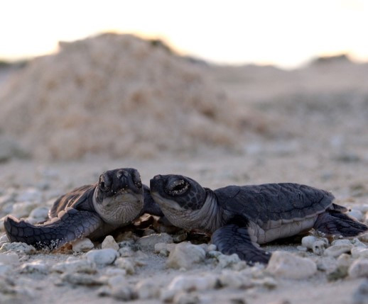 Two green turtle hatchlings on a beach