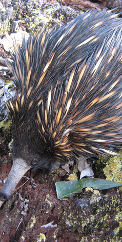 Echidnas can be spotted sometimes at Jerrapark
