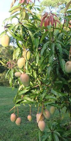 Jerrapark's orchard counts many trees such mangoes, macadamias, pecans, citrus, mulberries, bananas etc