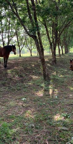 Jerrapark Horses in the macadamia Orchard