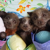 Happy Flying Foxes