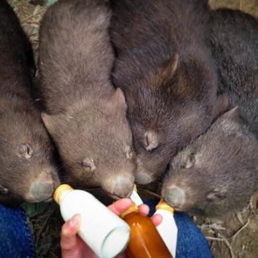 Feeding baby wombats