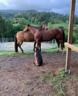 Jerrapark has 2 horses onsite and all horse facilities for Horse Clinics
