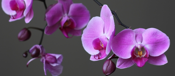 bigstock-Beautiful-Purple-Orchid-Phalae-3968904_edited.jpg