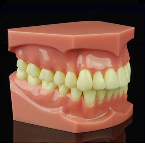 Oversized Dental Model