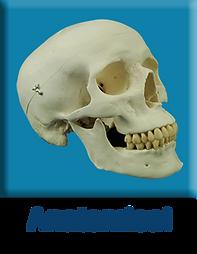 Anatomical Models