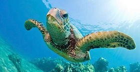 Green Turtle on the GBR