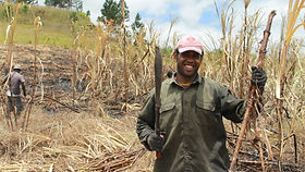 Sugar Cane Harvest on Viti Levu | © Fairtrade ANZ