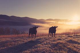 Manning Valley Wagyu Beef Farm