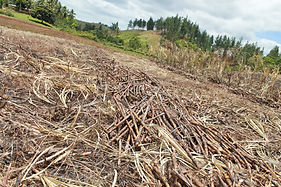 Sugarcane Fields in Viti Levu  | © Fairtrade ANZ