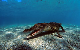 Crocodile in Kimbe Bay, PNG