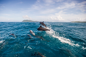 Spinner Dolphins, Tetepare