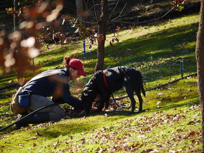 Dog finding truffle.JPG