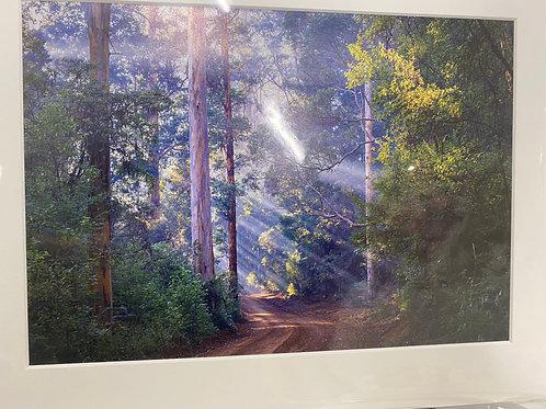 Karri Forest Pemberton - A4 Size Print