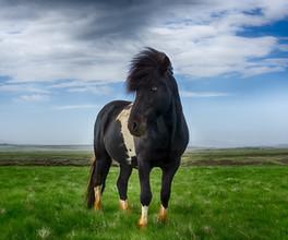 Ielandic Horse