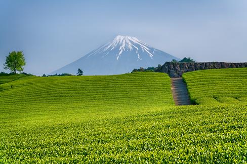 Mt Fuji green tea plantations
