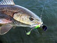 Redfish-small.jpg