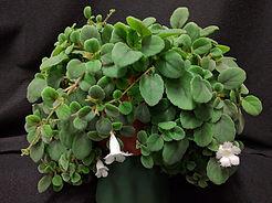 Alsobia dianthiflora.jpg
