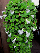 Alsobia dianthiflora 2.jpg