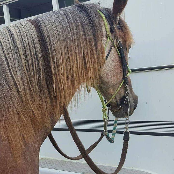 my Tennessee Walking Horse gelding, Cimarron