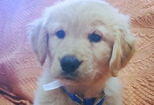golden retreiver puppy