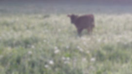 calf in a summer pasture