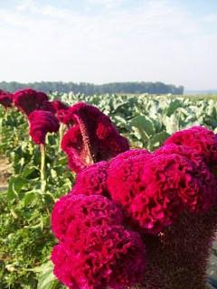 Amish Produce Garden