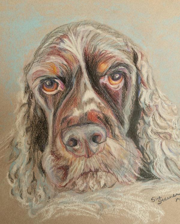 Cocker Spaniel Pet Portrait by Sue Steiner, colored pencil