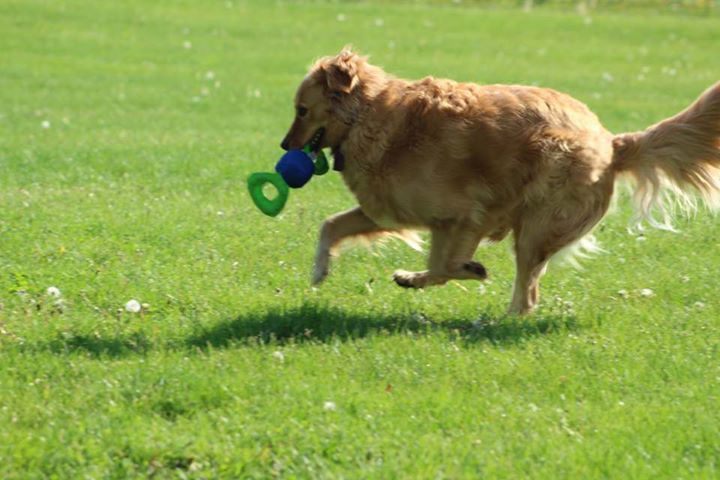 Golden Retriever playing