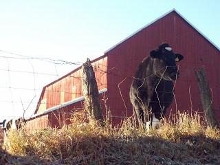 Barns and Cows, Cows and Barns