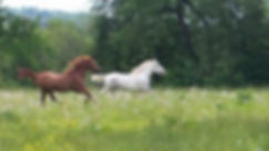 horses running in a green field