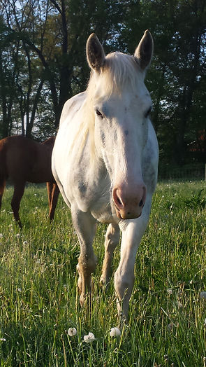 friendly white horse in pasture