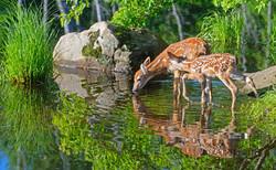 鹿の親子が時々遊びに来ます