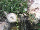 נענת המים