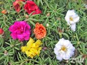 רגלה גדולת-פרחים פורטולקה עונתית