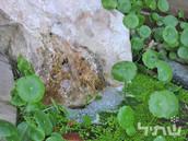 ספלילה, מינים שונים