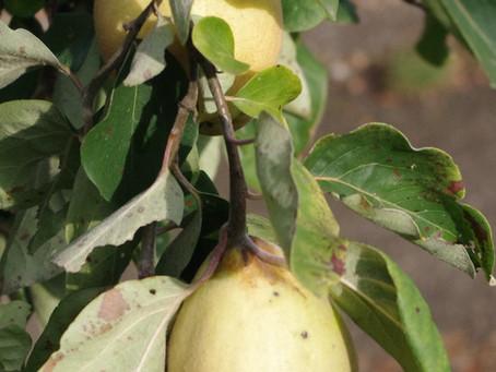 Le coing…citron des pays froids