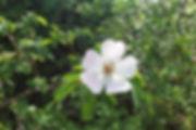 fleur de Rosa canina- Champex 31 mai 201