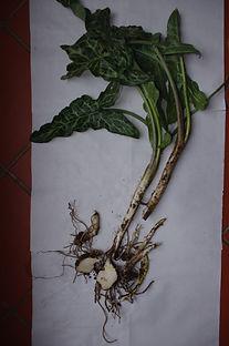 partie de plantesracine arum puilly 02 2