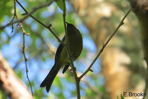 Photos of New Zealand Blue bird
