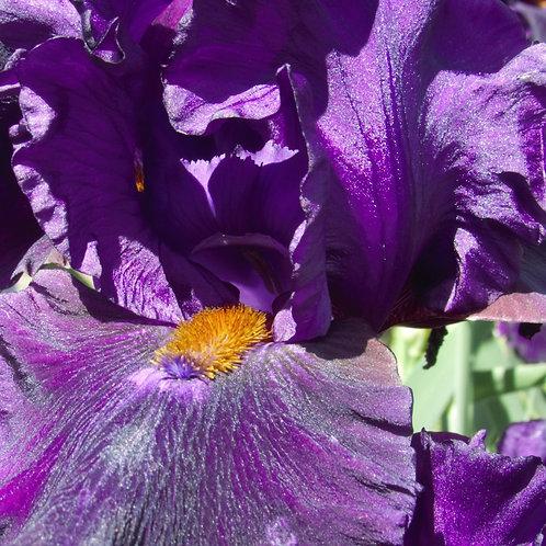 Photos of New Zealand Iris 1