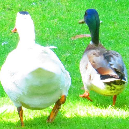Photos of New Zealand Ducks 2