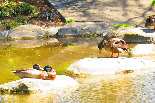 Photos of New Zealand Duck party
