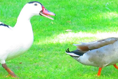 Photos of New Zealand Ducks 1
