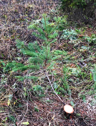 Stump branch