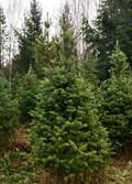 Natural Tree 8