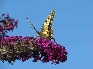 papillons0808.jpg