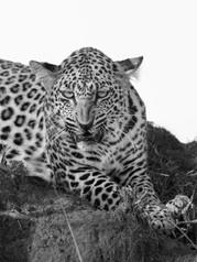 Leopard growl
